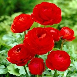 Лютик - красный - пакет из 10 штук - Ranunculus
