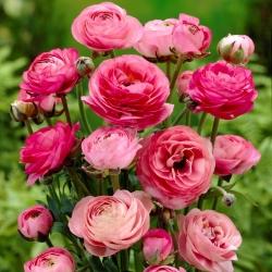 Лютик - розовый - пакет из 10 штук - Ranunculus