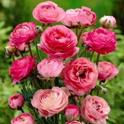 Ranunculus ، الحوذان الوردي - 10 البصلة