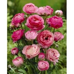 Gundegas - sārts - 10 gab. Iepakojums - Ranunculus