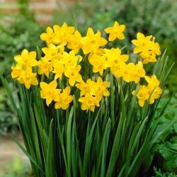 Jonquil – rush daffodil – Sweetness – large pack! – 100 pcs
