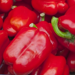 Sweet pepper 'Barbórka' - red, early variety intended for cultivation in tunnels