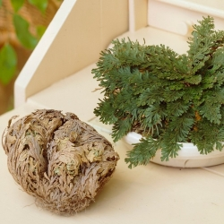 Rose of Jericho - Large Pack! - 10 pcs; Pallenis hierochuntica
