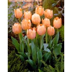 Tulipa Apricot Beauty - Tulip Apricot Beauty - 5 bulbs