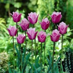 Тюльпан Blue Heron - пакет из 5 штук - Tulipa Blue Heron