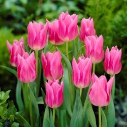 Tulipa China Pink - Tulip China Pink - 5 lampu