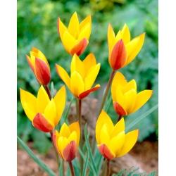 Tulp Chrysantha - pakend 5 tk - Tulipa Chrysantha