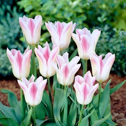 Tulip Holland Chic - 5 pcs - Tulipa Holland Chic