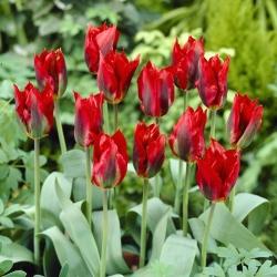 Tulipa Hollywood - paquete de 5 piezas