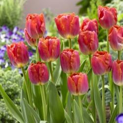 Тюльпан Miami Sunset - пакет из 5 штук - Tulipa Miami Sunset