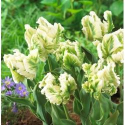 Тюльпан Super Parrot - пакет из 5 штук - Tulipa Super Parrot