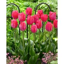 Тюльпан Van Eijk - пакет из 5 штук - Tulipa Van Eijk