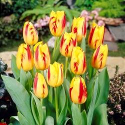 Тюльпан Washington - пакет из 5 штук - Tulipa Washington