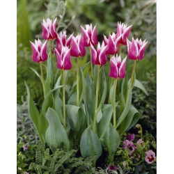 Tulipa Claudia - Tulip Claudia - 5 lampu