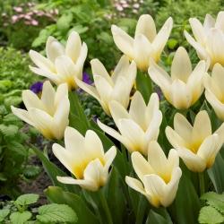 Tulipa Concerto - paquete de 5 piezas
