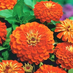 "Dahlia-flowered zinnia ""Orys"" - orange"