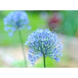 Dunia biji biru - Pek Besar! - 50 pcs; bawang merah hiasan, biru-of-the-heavens, bawang putih yang berwarna biru -