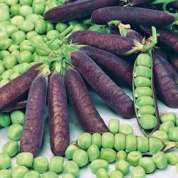 """Pea """"Blauwschokker"""" - purple pods"""