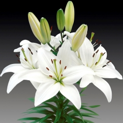 White Asiatic lily - White - Large Pack! - 15 pcs.
