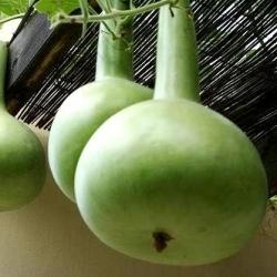 Лагенария обыкновенная - смесь - 7 семена - Lagenaria siceraria