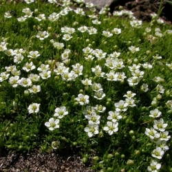 Irish Moss, Heath Pearlwort seeds - Sagina subulata - 1900 semillas