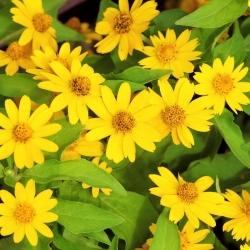 Butter daisy; Star daisy (Melampodium paludosum) - 40 seeds
