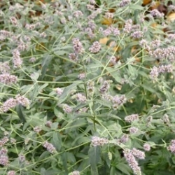 Mentha longifolia - 1200 seemned