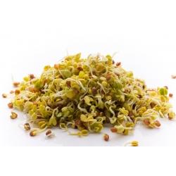 Hạt giống nảy mầm BIO EKO - Củ cải - hạt giống hữu cơ được chứng nhận -