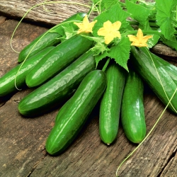 "Cucumber ""Gergana"" - field, salad variety - 175 seeds"