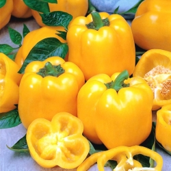 "Pepper ""Aphrodite"" - yellow, block-type variety for field and under cover cultivation"