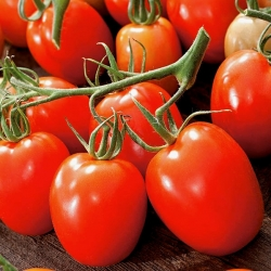 Dwarf field tomato 'Granite' - medium late variety producing firm fruit