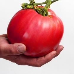 Tomato Raspberry Giant seeds - Lycopersicon lycopersicum - 400 seeds