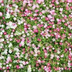 Semena dechu dítěte - Gypsophila repens - 450 semen