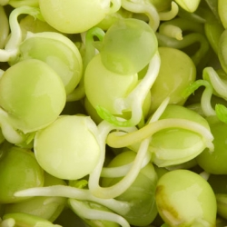 Lentil Sprouts - 990 seeds