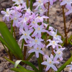 Forbes' glory-of-the-snow Chionodoxa forbesii Pink Giant - Large Pack! - 100 pcs.