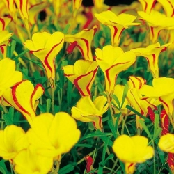 "Wood sorrel ""Golden Cape"" - Paket Besar! - 20 pcs; Oxalis, shamrock palsu -"