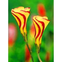 "Wood sorrel ""Golden Cape"" - Paket Besar! - 20 pcs; Oxalis, shamrock palsu -"