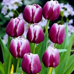 Tulipa Arabian Mystery - Tulip Arabian Mystery - 5 bulbs