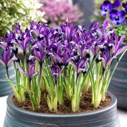 Netted iris Spot On - liels iepakojums! - 100 gab .; Zelta zeltaina varavīksnene -
