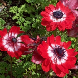 Szellőrózsa - Governor - csomag 8 darab - Anemone