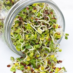 Sprouting seeds - Radish - 250 g of seeds - 21250 seeds