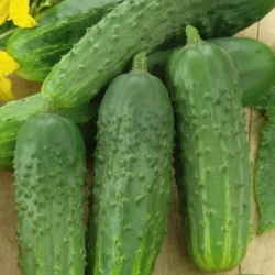 """Cucumber """"Traper F1"""" - highly productive, very early field variety - 175 seeds"""