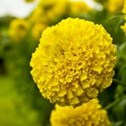 """Dwarf pot marigold """"Calando"""" - yellow - 108 seeds"""
