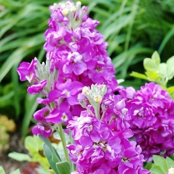 "Hoary stock ""Varsovia Jaga"" - pale pink-violet; gilly flower"