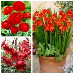 Sarkans izkārtojums - 3 augu sugu izvēle - 54 gab -