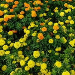 Mexican marigold, lemon yellow and orange - a set of seeds of two varieties