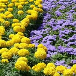 Flossflower + marigold Meksiko - satu set benih dua spesies -  - biji