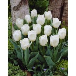 Tulipán blanco de bajo crecimiento - Greigii white