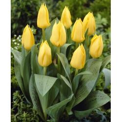 Tulipán amarillo de bajo crecimiento - amarillo Greigii