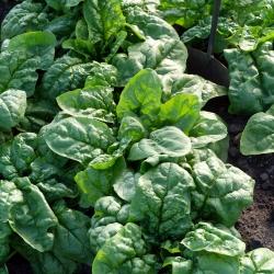 Spinat - Greta -  Spinacia oleracea - seemned